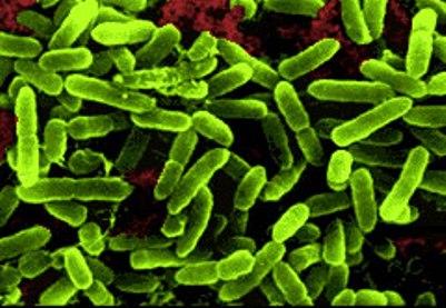lactobacillus acidophilus bacterium