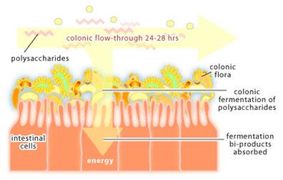 Probiotic colon flora for gut health
